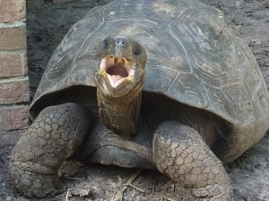 Galapagos tortoise - Chelonian Research Institute