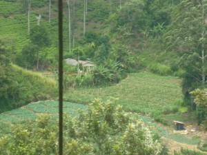 Tea plantations in the highlands of Sri Lanka